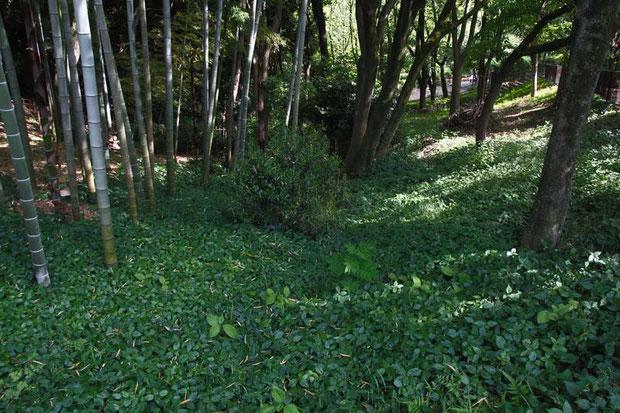 ヤマアイは地下茎で繁殖し群生を形成します。落葉樹林下のみならず、竹林の一部にまで進出していた