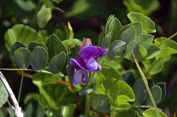 ハマエンドウ (浜豌豆) マメ科 レンリソウ属  花はあまり多くありませんでした