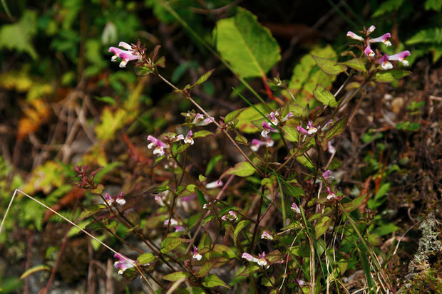 ミヤマママコナ (深山飯子菜) ハマウツボ科 ママコナ属  花は終盤、わずかに残り花が