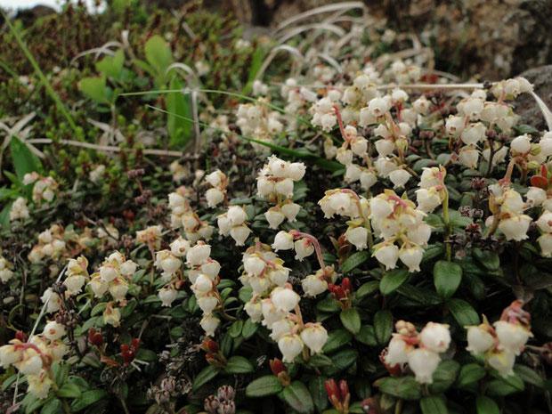 コメバツガザクラ 米葉栂桜 ツツジ科