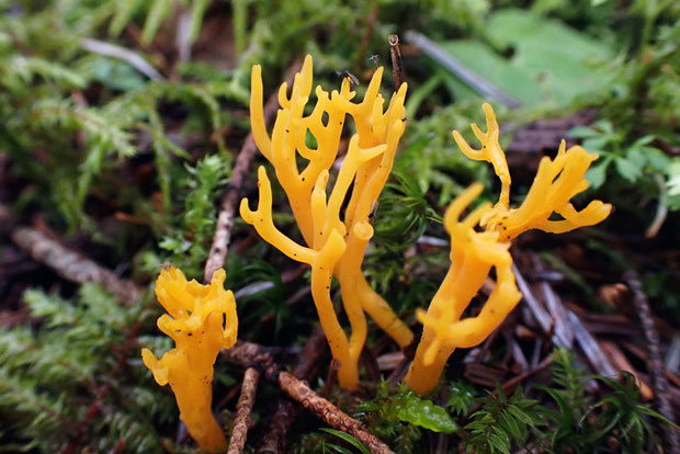 ニカワホウキタケ (膠箒茸) アカキクラゲ科 ニカワホウキタケ属 朱色がかった黄色がコケの中で目立つ