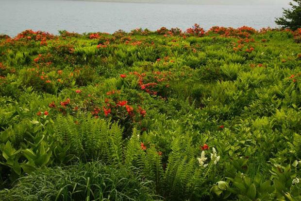 レンゲツツジが咲き誇る野反湖の風景 今回コバイケイソウは少なかった