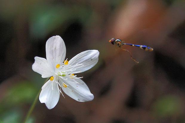 シロカネソウに ブルー・メタリックの美しい昆虫が来ていた