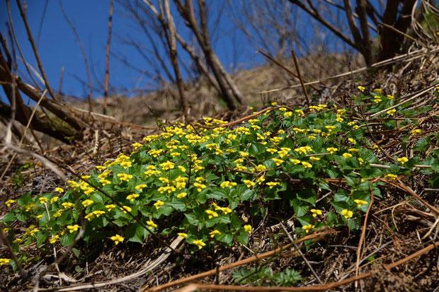 オオバキスミレ こんな群生は小さな方 ここではありふれた花なんだね
