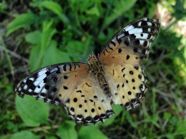 ツマグロヒョウモン(雌) 2011.08.10 群馬県吾妻郡 野反湖