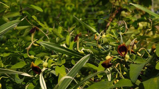 ウマノスズクサ (馬の鈴草) ウマノスズクサ科 ウマノスズクサ属  蔓性で他の植物に絡みつきます