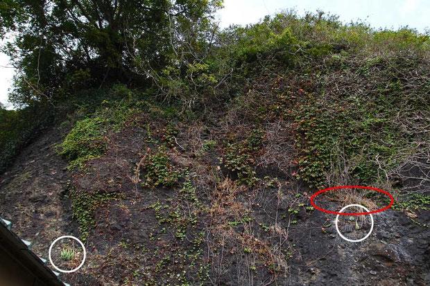 イワレンゲ自生地の崖では数が激減していた。 白い円内2箇所のみ。 赤い円内の30株ほどは消失した