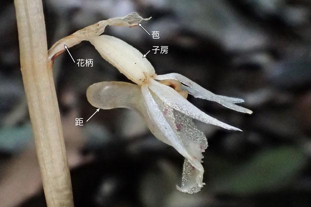 タシロランの花の構造 花の側面より(距、子房、花柄、苞)