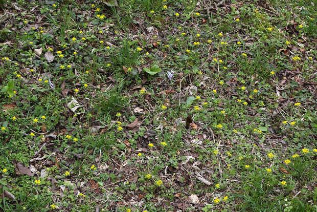 一面にオオコガネネコノメソウが咲き乱れている場所があった