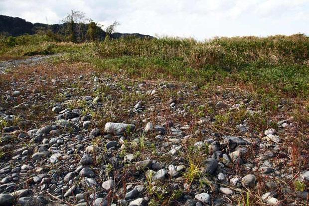 カワラノギク自生地 2012年10月の河原の状態
