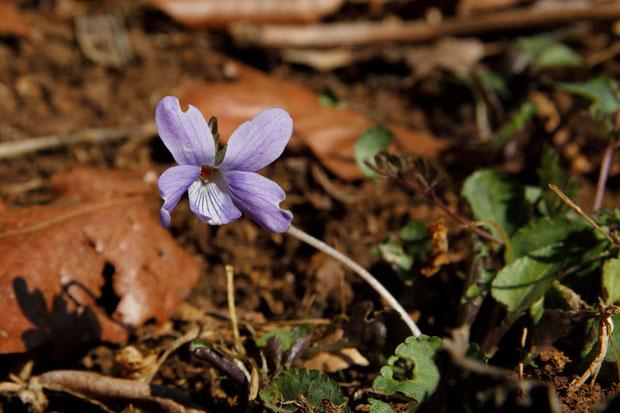 タチツボスミレ (立坪菫) スミレ科 スミレ属  気の早い花が1つだけ咲いていた