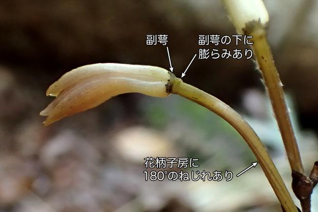 #9 エンシュウムヨウランの花の側面  副萼の下に膨らみがある