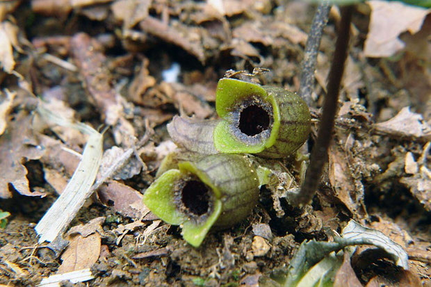 オトメアオイの緑色の花