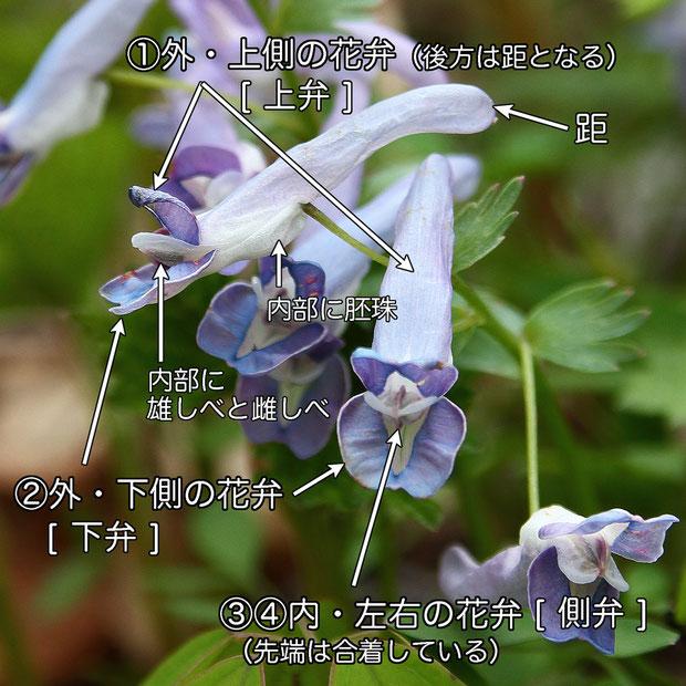 #15 ヤマエンゴサクの花のつくり  花弁は4個