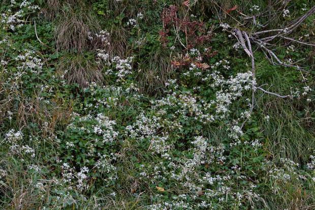 #7 ナメラダイモンジソウの自生地  水辺の急傾斜の岩場でした。 滴り落ちるように湿っていました