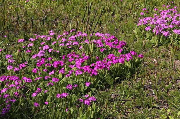 ここのサクラソウは、江戸時代から作られてきた園芸品種の原種の1つではないかといわれているそうです