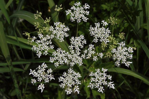 ハナウドの、大きな複散形花序。 まるで夜空の花火のよう・・でもないか。