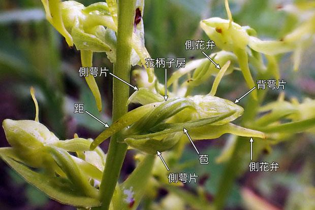 #6 タカネサギソウの花の各部の名称−花の側面  2015.07.19 長野県