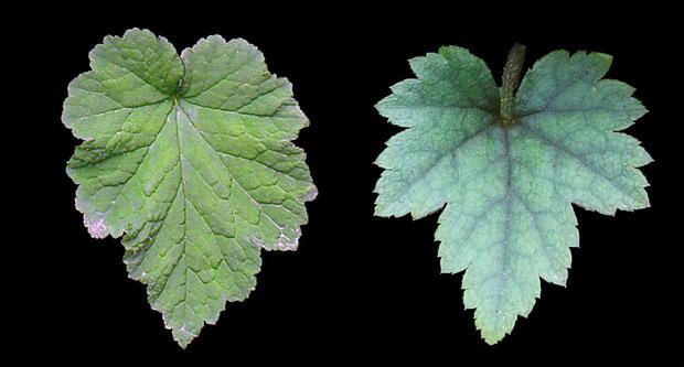 #8 葉の形状比較 左:コシノチャルメルソウ(燕市)、右:コチャルメルソウ(八王子市)