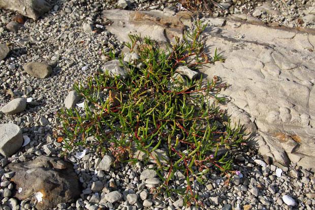 ウシオハナツメクサ (潮花爪草) ナデシコ科 ウシオツメクサ属  ヨーロッパ原産の帰化植物