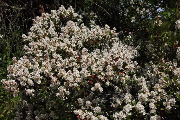 シャリンバイ すごい花数でした