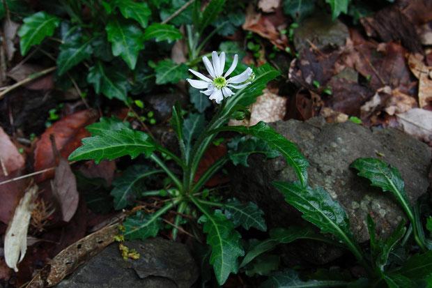 ミヤマヨメナ (深山嫁菜) キク科 シオン属  舌状花にも筒状花にも冠毛がないそうです