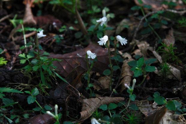 アリドオシランが集まって咲いていた。 V字型のツボミは、ツルアリドオシ。