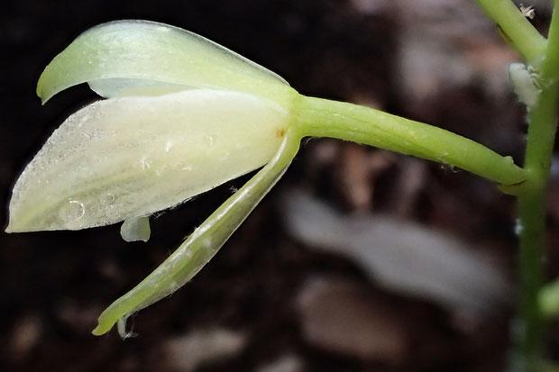 サガミランの花の側面  花柄子房が180°ねじれて唇弁を下側にする「標準タイプ」