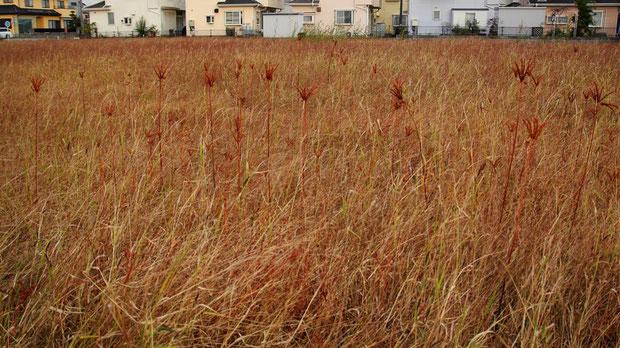 街なかの休耕田にたくさんタコノアシが生えていた。 保護されている気配はまったくない