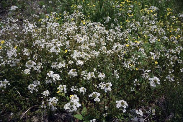 トウサワトラノオ 2012年に訪れた時はやや時期が早く、花が少なかった。 今回は時期が合い、たくさん見られました。