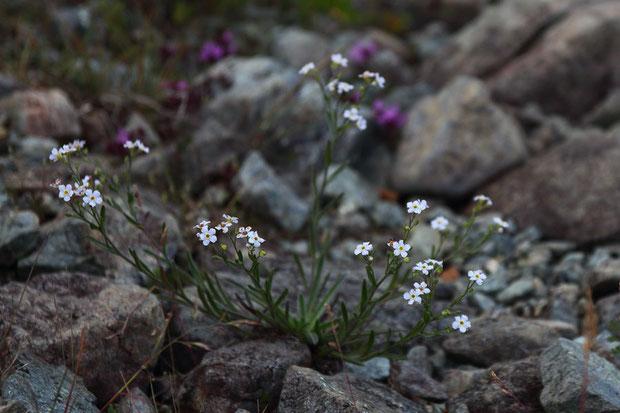 ミヤマムラサキ (深山紫) ムラサキ科 ミヤマムラサキ属  花は終盤。以前より数を減らしている