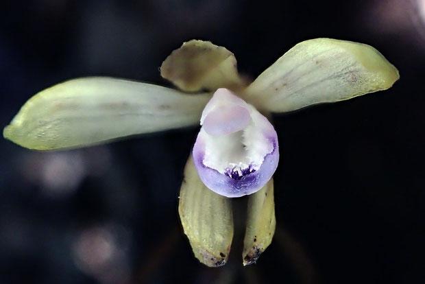 トサノクロムヨウランの唇弁のブルーが美しい。 もう少し早く訪れれば、もっと開いていたかも知れない