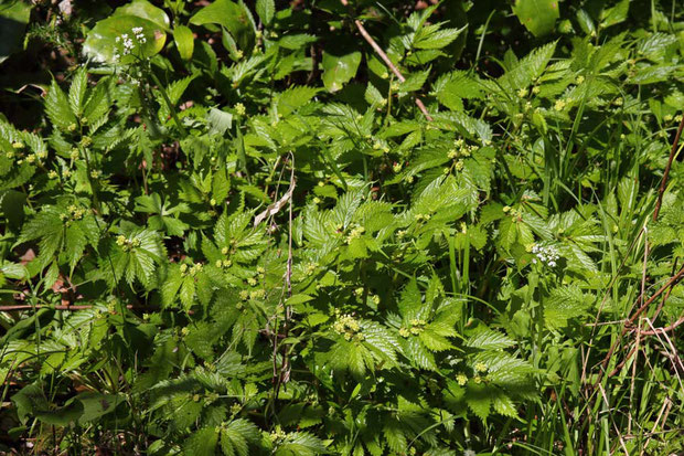 ウワバミソウ (蟒蛇草) イラクサ科 ウワバミソウ属 沢の入口にたくさいた。 目立たない花をつけている