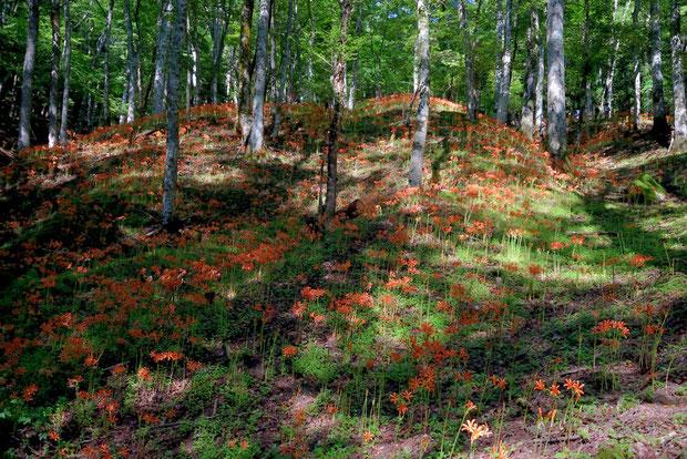 山肌一面に咲くオオキツネノカミソリ  見事な大群生だ