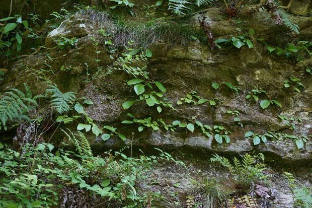 イワタバコの葉