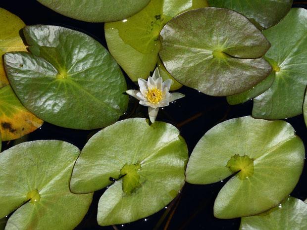 ヒツジグサ (未草) スイレン科 スイレン属  直径5cmほどの花は4個の萼片と8〜15個の花弁がある