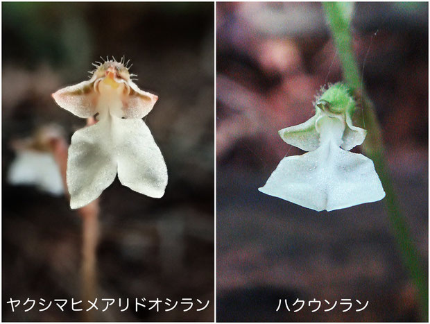 ヤクシマヒメアリドオシランとハクウンランは、特に唇弁の先端部の形状が異なります