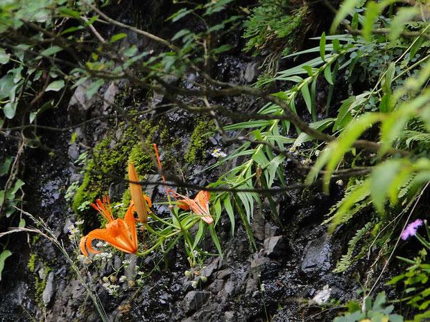 ミヤマスカシユリ  2014.07.13(このページすべて) 茨城県久慈郡大子町 袋田の滝 alt=185m