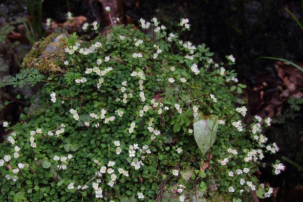 周辺の小規模な群生は、大水の難を免れ、元気に花を咲かせていた
