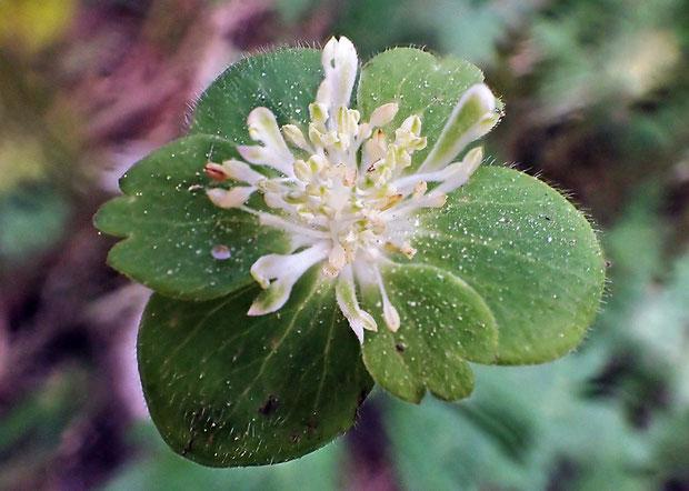 萼片の形まで葉のようになっている。 本来あるはずがない花弁状にも見える部位まであった