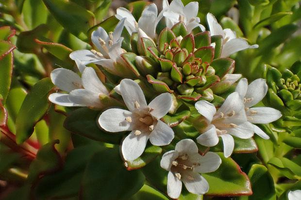 ハマボッスの花  花の形は同じ属のオカトラノオに似ている