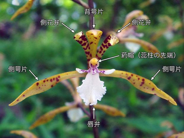 #8 トケンランの花の正面  ラン科植物の花被片は6つ。背萼片x1、側萼片x2、側花弁x2、唇弁x1