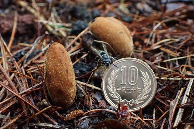 これは少し小さめの株。 縞模様のアブのような昆虫が多数来ていた。 10円玉の直径は23.5mm