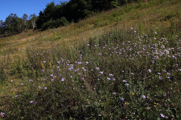 マツムシソウ (松虫草) スイカズラ科 マツムシソウ属  草原のそこかしこに群生していた。 見頃。