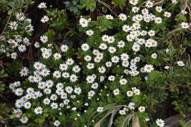 ハマギクの学名は Nipponanthemum nipponicum  まさに日本のキク