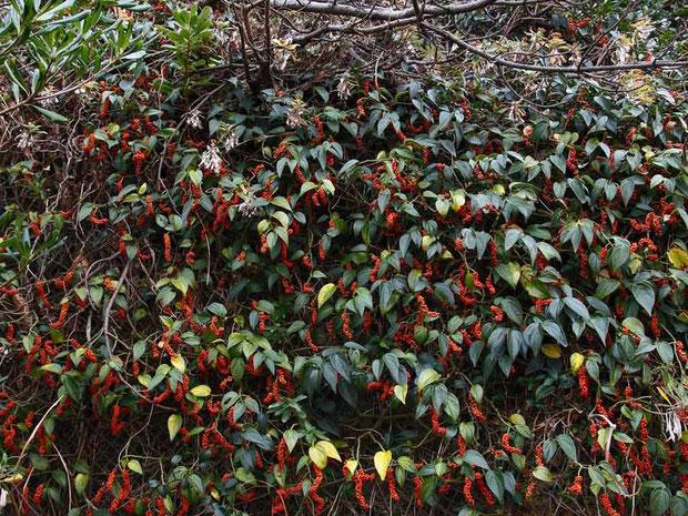 フウトウカズラの果実  花は少なくとも、樹木の果実が冬の風景に彩りを添える