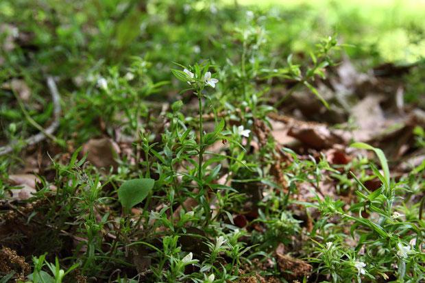 クチナシグサの茎は、地面を這ったり(倒れた?)、斜上したり、直立したりと、様々だった