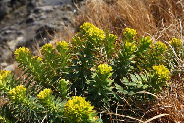 塩水、強風に強烈な紫外線と、厳しい環境の海岸に咲くイワタイゲキ