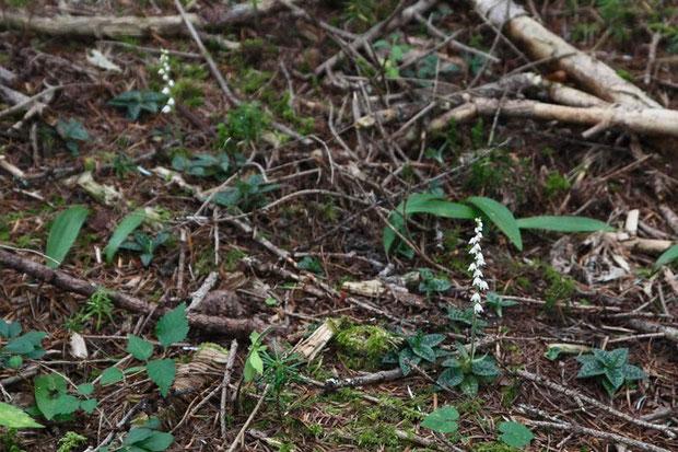 ヒメミヤマウズラの自生地は、所々苔生しているような場所でした。