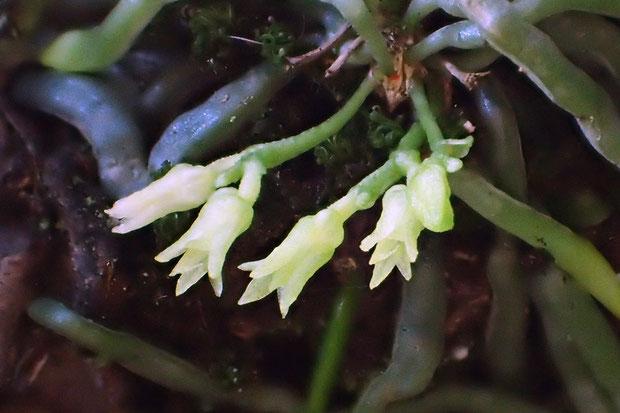 クモランは長さ1cmもない花茎を1〜5本出し、その先に1〜3個の花をつける。